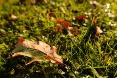 Лист дуба с падениями росы на зеленом луге Стоковое Изображение RF