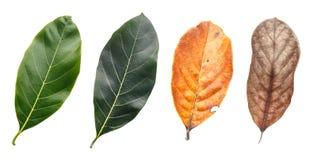 Лист дерева изолированные на белизне на белой предпосылке Стоковое Изображение RF