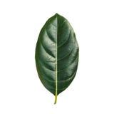 Лист дерева изолированные на белизне на белой предпосылке Стоковое Фото