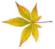 Лист дерева клена Стоковые Фото