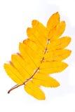 Лист дерева рябины осени изолированные на белой предпосылке Стоковые Изображения