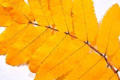 Лист дерева рябины осени как предпосылка Стоковая Фотография RF