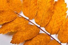 Лист дерева рябины осени на белизне как предпосылка Стоковое Изображение