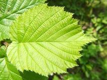 Лист лещины карего дерева Стоковая Фотография RF