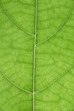Лист джекфрута Стоковое Изображение