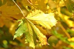 Лист желтых/зеленого цвета Стоковое Изображение RF