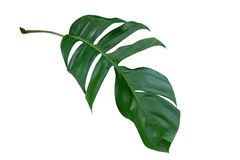 Лист завода Monstera, тропическая вечнозеленая лоза изолированная на белой предпосылке стоковая фотография rf