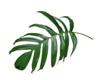 Лист завода Monstera, тропическая вечнозеленая лоза изолированная на белой предпосылке, пути Стоковое Изображение RF