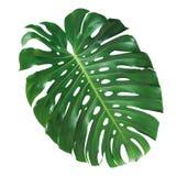 Лист завода Monstera, тропическая вечнозеленая лоза изолированная на wh Стоковые Изображения