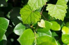 Лист зеленого сердца форменные на лозе Стоковые Фотографии RF