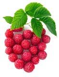 Лист зеленого цвета взгляд сверху поленики ягоды творческие Стоковые Изображения