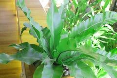 Лист зеленого цвета папоротника гнезда ` s птицы Стоковое Изображение