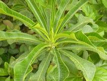 Лист зеленого цвета с желтыми венами цвета завода Croton Стоковое Изображение