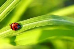 Лист зеленого цвета Ladybug на солнечный день стоковое фото rf