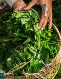 Лист зеленого чая удерживания руки молодой женщины стоковое фото