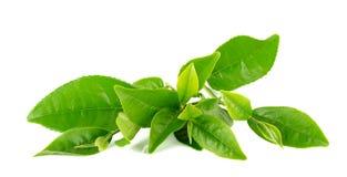 Лист зеленого чая изолированные на белой предпосылке Стоковое Изображение