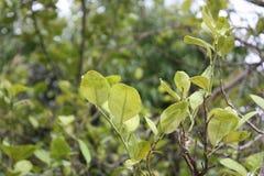 Лист известки в саде Стоковая Фотография RF