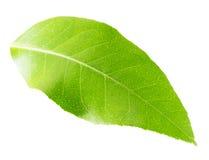 Лист лимона изолированные на белой предпосылке стоковое фото rf