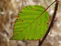 Лист листвы - ежевика Стоковое Изображение