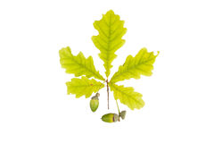 Лист и жолудь дуба изолированные на белой предпосылке Стоковые Фотографии RF