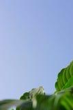 Лист лилий мира Стоковое Фото