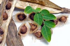 Лист и семя Moringa на белой предпосылке Стоковая Фотография RF