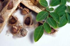 Лист и семя Moringa на белой предпосылке Стоковая Фотография