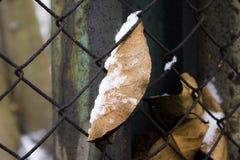 Лист и снег Стоковые Изображения RF