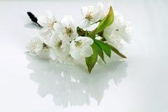 Лист и цветения вишни Стоковое фото RF