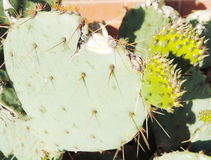 Лист кактуса r Стоковые Фото