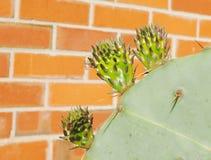 Лист кактуса r Стоковое Изображение