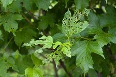 Лист калины повредили жуком лист калины Стоковые Фотографии RF