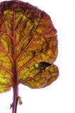 Лист капусты Брюсселя Стоковое Фото