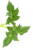 Лист картошки Стоковое Изображение