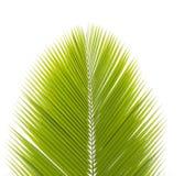 Лист кокоса изолированные на белой предпосылке Стоковые Изображения RF