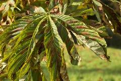 Лист конского каштана (hippocastanum Aesculus) Стоковая Фотография