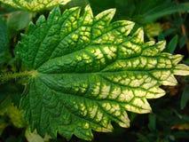 Лист крапивы Стоковое Изображение