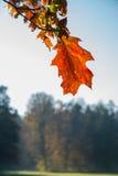 Лист красного дуба на ветви Стоковое Изображение RF