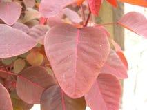 Лист красного цвета тропического завода куста дыма Стоковое фото RF