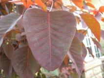 Лист красного цвета тропического завода куста дыма Стоковое Изображение RF