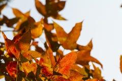 Лист красного цвета Mable стоковое изображение rf