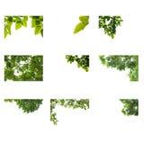 Лист крупного плана зеленые при капельки воды изолированные на белой предпосылке Собрание листьев Стоковое Изображение RF