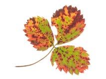 Лист клубники на белой предпосылке Стоковое Фото