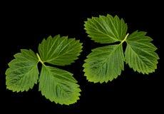 Лист клубники Стоковая Фотография RF