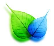 Лист макроса зеленые и голубые стоковая фотография rf