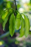 Лист манго на дереве Стоковое Фото