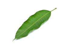 Лист манго Стоковая Фотография
