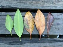 Лист мангровы стоковая фотография