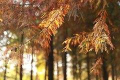 Лист метасеквойи в лесе стоковые фотографии rf