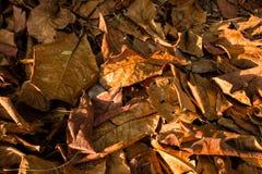 Лист миндалины осени индийские Стоковые Изображения